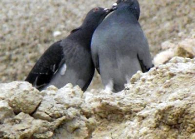 Birds-in-Love-at-Pt-Willunga---by-Darren-Gall---Jun-2012