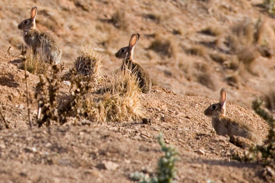Rabbits a danger to Coorong – new report