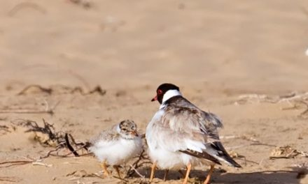 Hooded Plover breeding season has started!