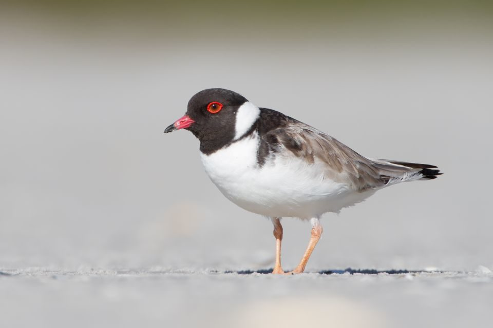 Hooded Plover breeding season update