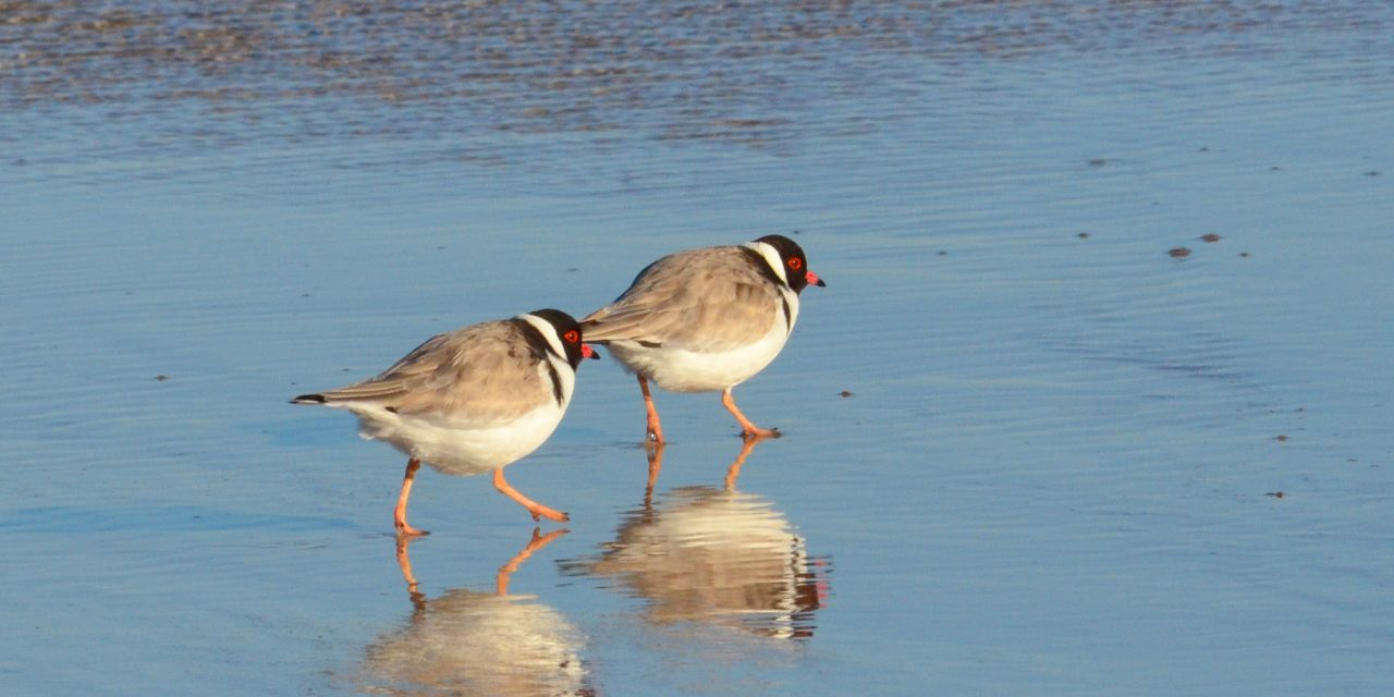 Take care, Hooded Plovers about!
