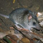 Citizen Scientists helping save the Dunnart